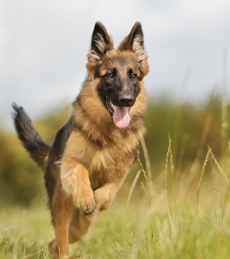 Large Of German Shepherd Pictures