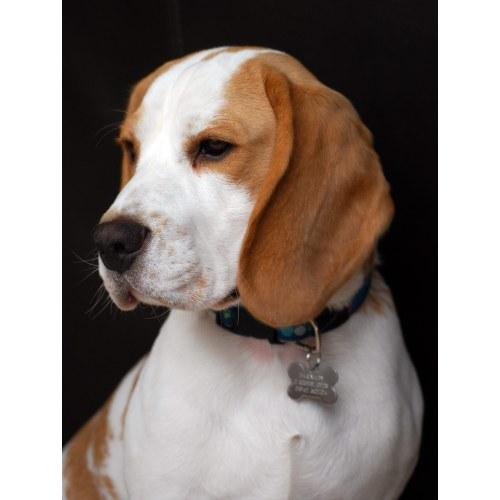 Medium Crop Of Husky Beagle Mix