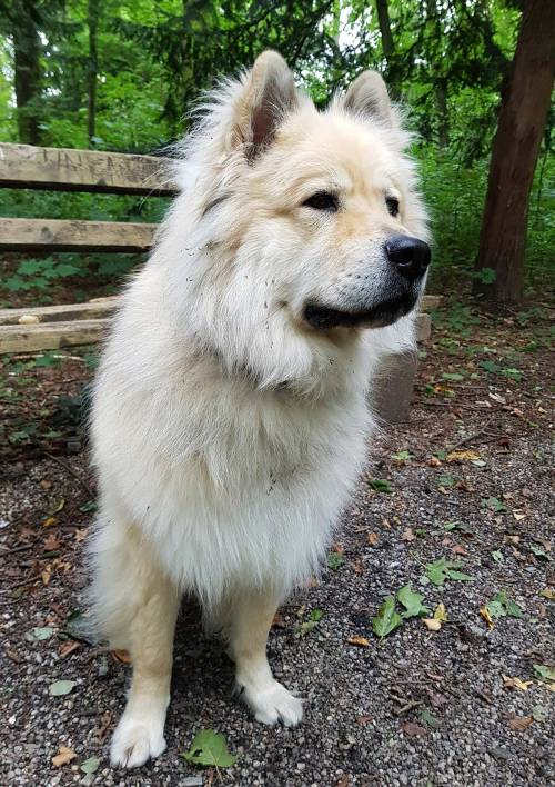 Medium Of Chow Husky Mix