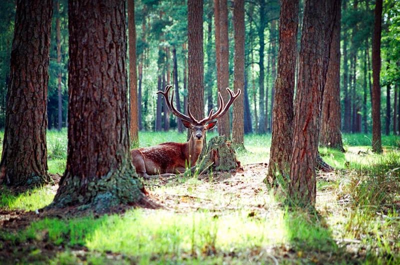 ベラヴェシの森