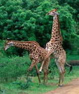 Giraff_stor_1