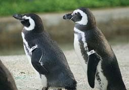 Gay_penguins_2