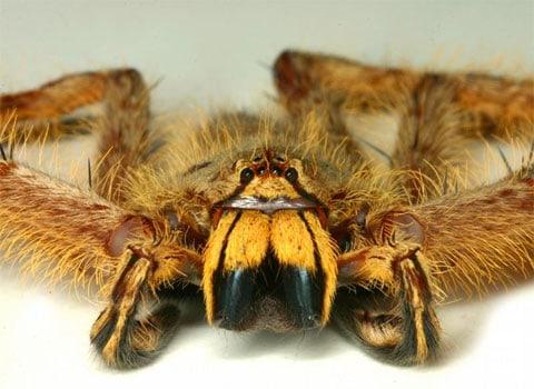 Heteropoda-davidbowie