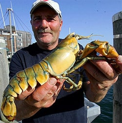 Yellowlobster