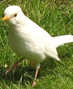 White_blackbird