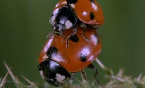 Ladybugsex