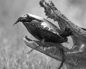 Picture-of-the-Day-Alligator-Tries-Cracking-a-Turtle-s-Shell