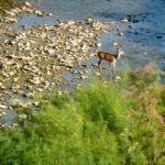 deer in purgatory river in colorado