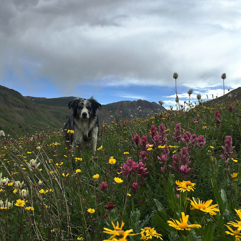 Kangaroo the Dog Wildflowers Colorado