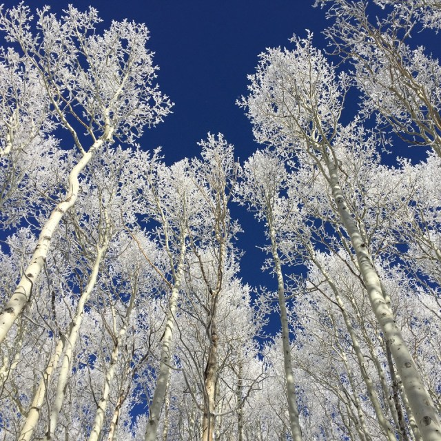 Sparkly Snow Covered Aspens