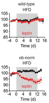 """Effekten av leptin hos möss som ätit sig överviktiga med antingen """"fria"""" leptinnivåer eller leptinnivåer som kontrollerats till en nivå motsvarande basnivån hos normalviktiga möss."""