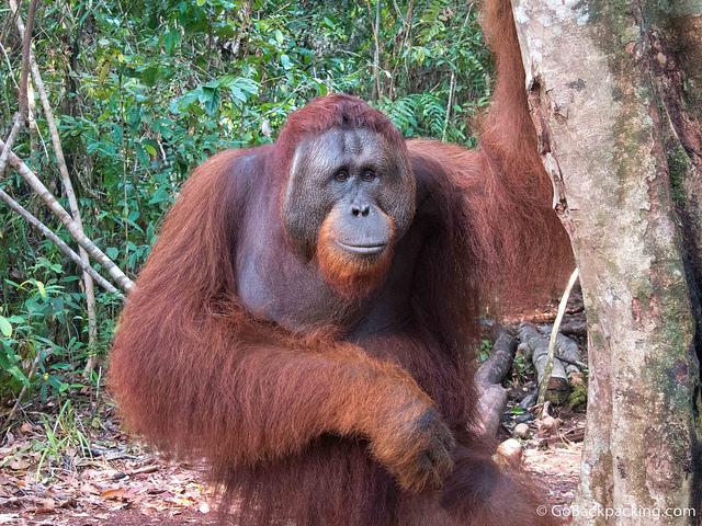 Orangutans Kalimantan Indonesia - Raja Ampat - 10 Places to Visit in Indonesia