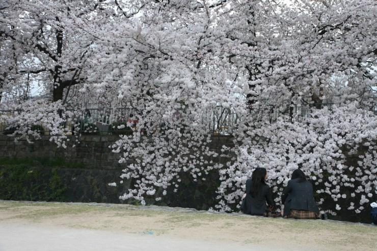 hanami-kyoto-white sakura japan