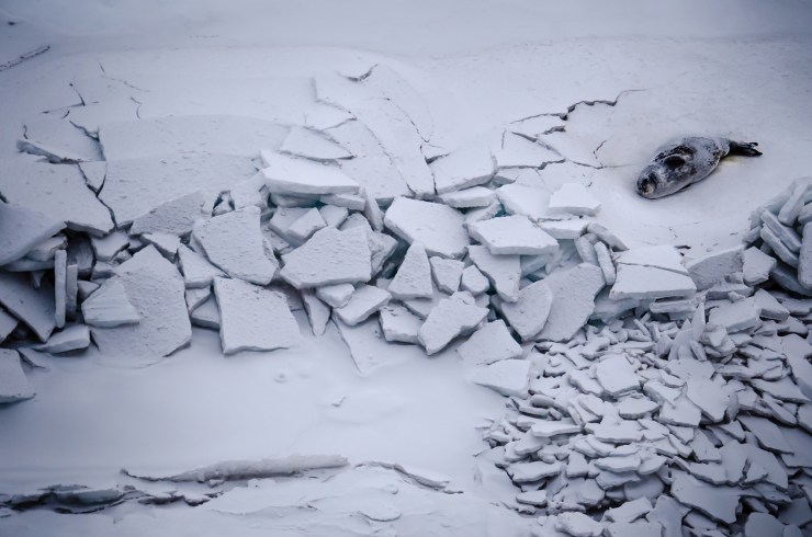 seal on cracking ice
