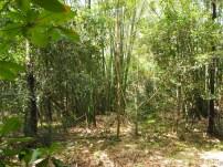 Wald, Bambus, Kuba