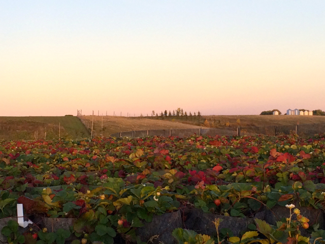 Rows of strawberries at Over the Hills Orchard