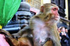 Nepal - Maimuţe la Swayambhunath