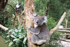 Melbourne - Koala la Healesvile Sanctuary