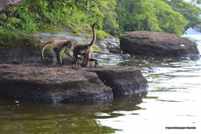 Playful Spider Monkeys