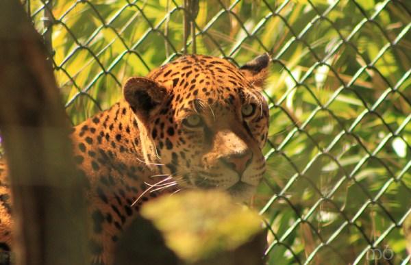 Salisbury Zoo - Jaguar