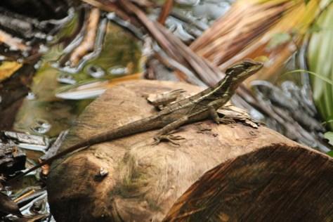Lizard Sitting on a Rock; Manuel Antonio, Costa Rica; 2013