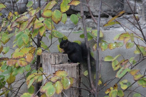 Black Squirrel; Ottawa, Canada; 2011