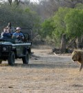 Tourists are observing a lion in the Kreuger National Park.