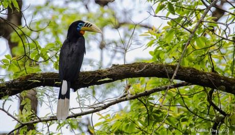 Rufous Necked Hornbill Male