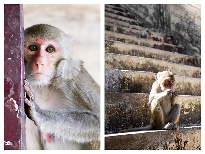 monkeys in myanmar