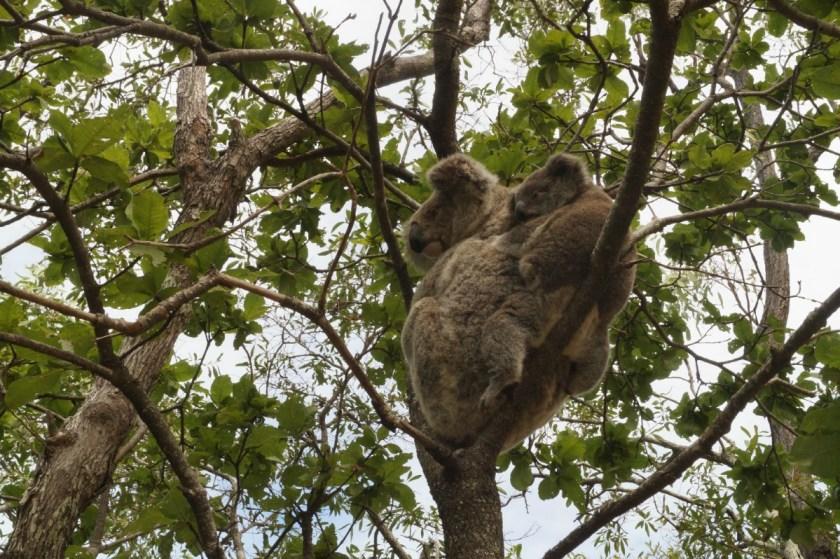 koala-mama-mit-baby