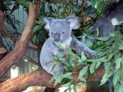 These Koalas and Kangaroos in the Blue Mountains are Amazing and Magical!
