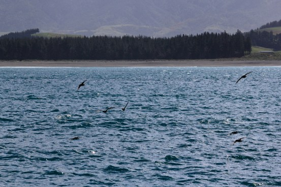 birds of kaikoura