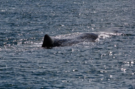 sperm whale swimming 2