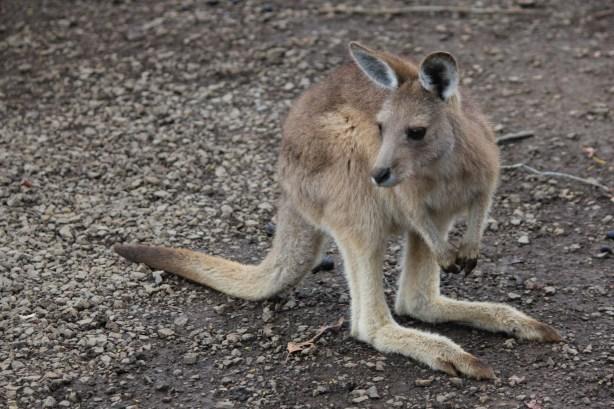 forrester kangaroos tasmania-1