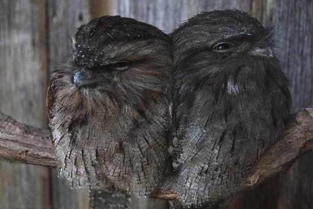 gorgeous tassie birds-2