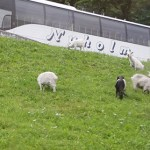 sheep_on_mt_dalsnibba_norway_travelxena_1