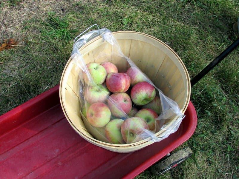apple picking 7
