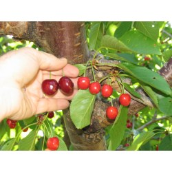 Small Crop Of Bing Cherry Tree