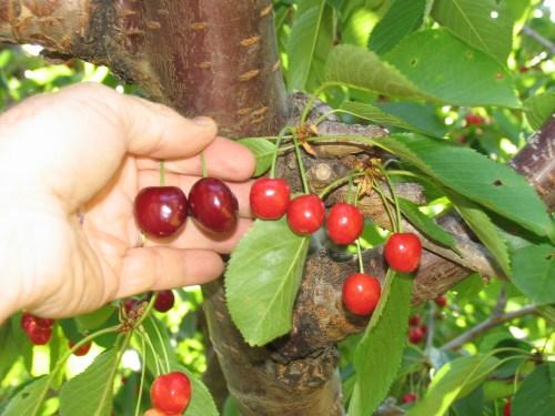 Medium Of Bing Cherry Tree
