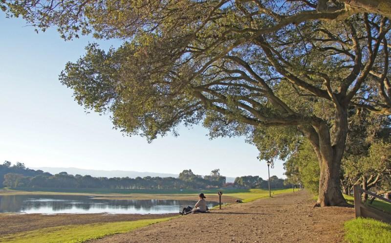 Large Of Coast Live Oak