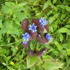 blue wild flowers Kaas plateau