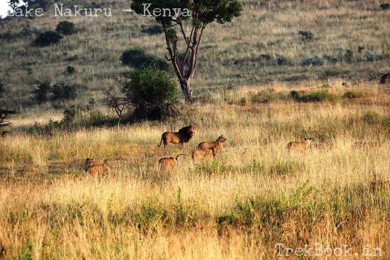 lion and family at lake nakuru