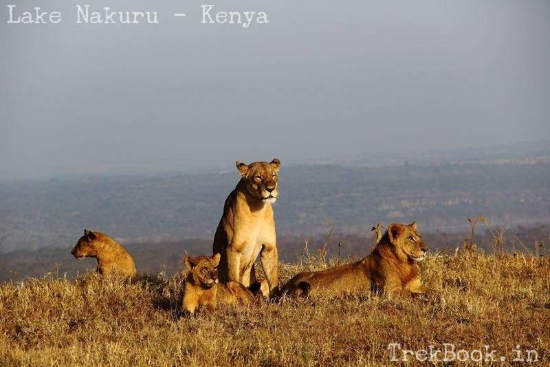 lioness and familiy at lake nakuru
