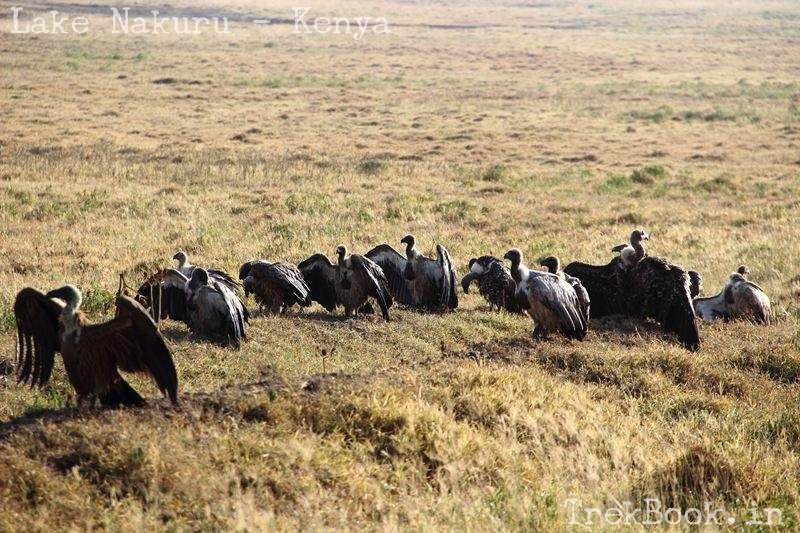 vultures at lake nakuru