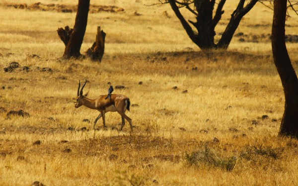 A Drongo hitches a ride on a Chinkara