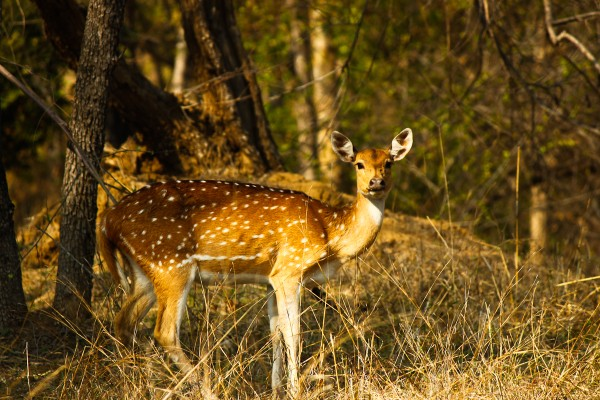 Spotted deer at Pench