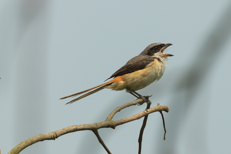 This little Shrike sings its song