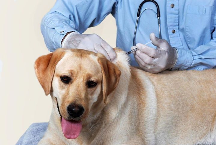 Doctor injecting the dog