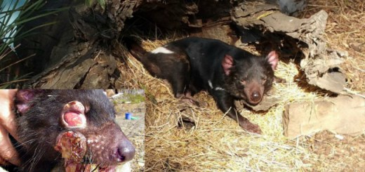 Tasmanian Devils are threatened by a fatal Cancer and Science has just discovered the reason why