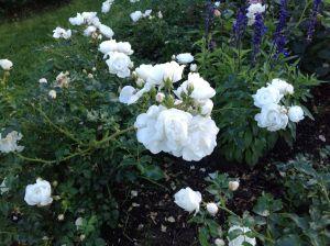 hvit rose